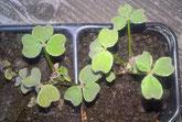 Oca, Oxalis tuberosa, Knolliger Sauerklee, Jungpflanzen in Töpfen vorgezogen