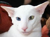 weiße OKH, Bildquelle: cat-word.com.au