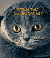BKH/Scottish Fold Katze, Foto: (c) Homeportrait,Zuchtgemeinschaft mywaycats.de & highlandcats.de