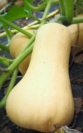 Der Butternut-Kürbis wird wegen seiner Form auch Birnenkürbis genannt