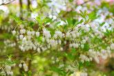 みのかも健康の森では、オトコエシの花が美しく咲きます。