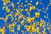 山ノ上に咲く蠟梅が美しい,美濃加茂市の健康の森。