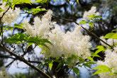 ナンジャモンジャが咲き、バーベキューで家族や友人と楽しむ自然公園 美濃加茂けんこうの森へ。