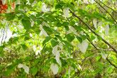 ハンカチの木が開花しています。バーベキューで家族や友人と楽しく。ウォーキングやハイキング散策が楽しめる自然公園 美濃加茂けんこうの森へ。