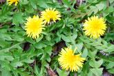 みのかも健康の森の菊の花が美しく咲いています。