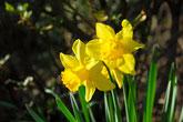 みのかも健康の森の水仙の花が美しく咲いています。