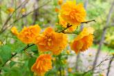 関市美濃市中濃地方の皆様へ、キクが咲き誇っています。