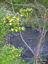 渓流で咲く黄色い花