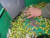 Une à une les olives sont soufflées
