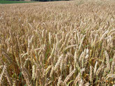 Les épis de blé en juillet