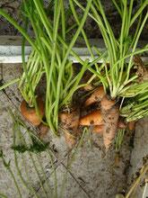 La carotte (qui peut se confondre avec le persil)