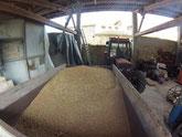 Le blé à la sortie du silo