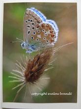 Schmetterling, Postkarte, Bläuling