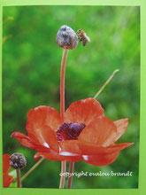 Anemone mit Biene, Postkarte