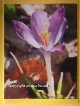 002 lila Krokus hoch