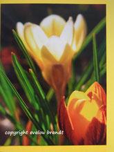 001 Krokusse gelb leuchtend