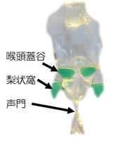 複雑な喉の構造を透明にすることにより、見て動かして食材の流れが理解できる生体モデル