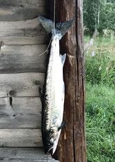 Lachse angeln in Norwegen, kleiner Fluss, mit Fliegenrute