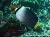 poisson, comprimé, blanc, gris, noir, museau et queue jaune, tête, bande noire verticale
