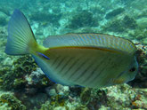 poisson chirurgien, gris bleuté, brun verdâtre, lignes fines verticales, sombre, scalpel cerclé bleu vif