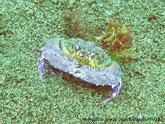 Crabe, mauve, brun mauve, carapace, forme poire, inversé, granuleuse, pinces, larges, dentées