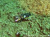 Seiche, petite, brun, couleur vives, tentacules forme de lame