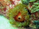 Anémone, disque plat, bouche centrale, brun verdâtre, bordure, polypes charnus, terminaison en boule.