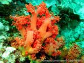 Alcyonaire, arborescent, jaune, orange, rouge, trapu, tronc épais, court, branches courtes, touffe de polypes