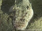 poisson trapu, enfoui dans le sable, corps clair, taches foncées,