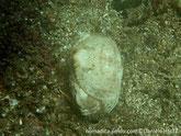 Crabe, carapace large, en forme de casque, surface verruqueuse