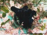 Escargot de mer, manteau, 5 protubérances, noir veiné bleu foncé, ou brun veiné brun foncé avec des taches brunes, coquille invisible