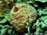 Eponge, sphérique,couleur jaune orangée, surface,bosselée, oscules inhalants, sommet, gros oscule,