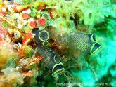 ascidie translucide grisâtre à bleuté, points jaunes, siphons cerclés jaunes