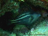 poisson, aplati latéralement, fanon ventral, couleur gris à brun, points orangés,larges bandes claires, horizontale,