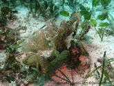 Nudibranche, corps allongé verdâtre à gris brunâtre, tête, voile oral, bordée de poils,  papilles  latérales,en forme d'éventail pédonculé