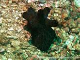 Gastéropode, ressemble à une limace, couleur vert, bleu, points noirs, dos, 5 protubérances digitées,