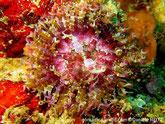 Anémone, petite, tentacules courts, épais, 2 tentacules clairs à côté de la bouche, bouche, ligne blanche