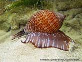 Escagot de mer, gros, motif brun, croissants blancs, corps largement étalé, brun blanc, bordure brun foncé
