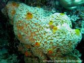 Eponge encroûtante, jaune orangé, surface sillons,  gros oscules