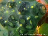Copecodes, petits crustacés jaunes à antennes