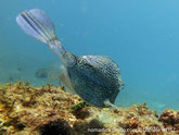 poisson coffre, bleu,motifs hexagonaux, noirs, cornes, 2 épines arrière corps