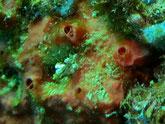 Eponge, rouge orangé, massive, lobée, oscule au sommet,