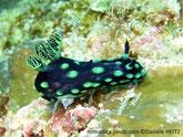 Nudibranche, fond noir, taches verts, panache branchiale noir veiné vert