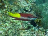 poisson, rouge bordeaux, arrière tache jaune, bande blanche médiane, nageoire pectorale,tache noire