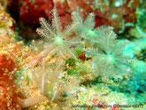 Corail mou, fleur, tentacules longs, espacés, pennés,  vert brun, disque orale, jaune vert
