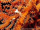 Crabe araignée, 2 rostres longs, fins, très longues pattes, camouflage hydraires