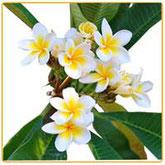 prodotti ylang ylang erboristici fitoterapici