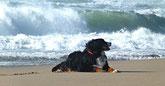 un chien bouvier bernois sur le sable au bord de la mer par coach canin 16 educateur canin domicile