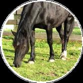 Rhiannon - die Welsh Cob Stute im Team Ponykerstin