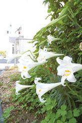 万勢岳の石垣島天文台の入口でテッポウユリが花を咲かせた=12日夕、同所